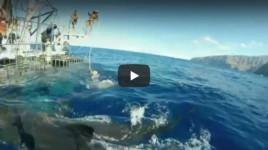 Le Grand Requin Blanc de Guadaloupe